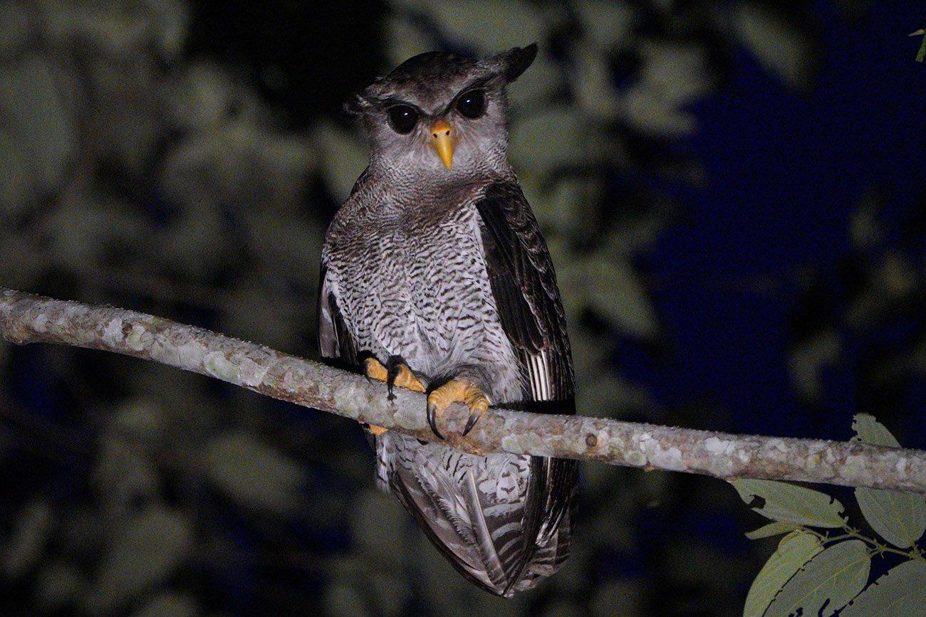 barred eagle owl
