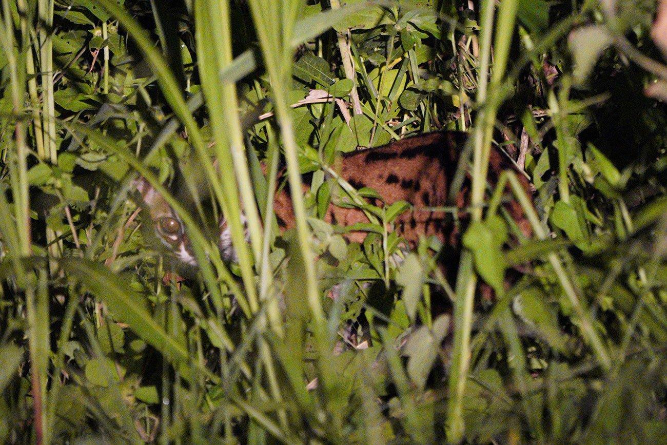 borneo leopard cat
