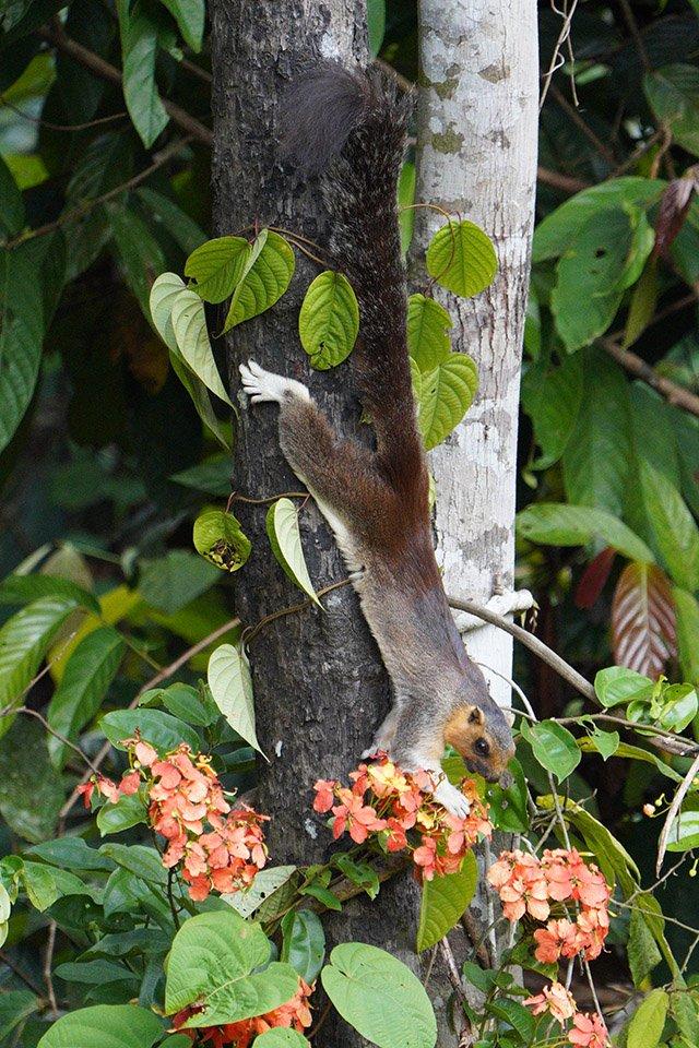 giant tree squirrel