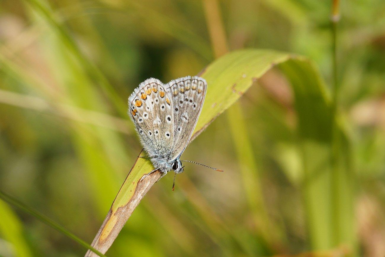 common blue sigma 70mm macro