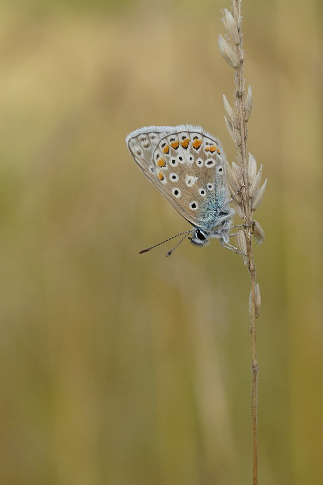 common blue butterfly sigma 70mm macro