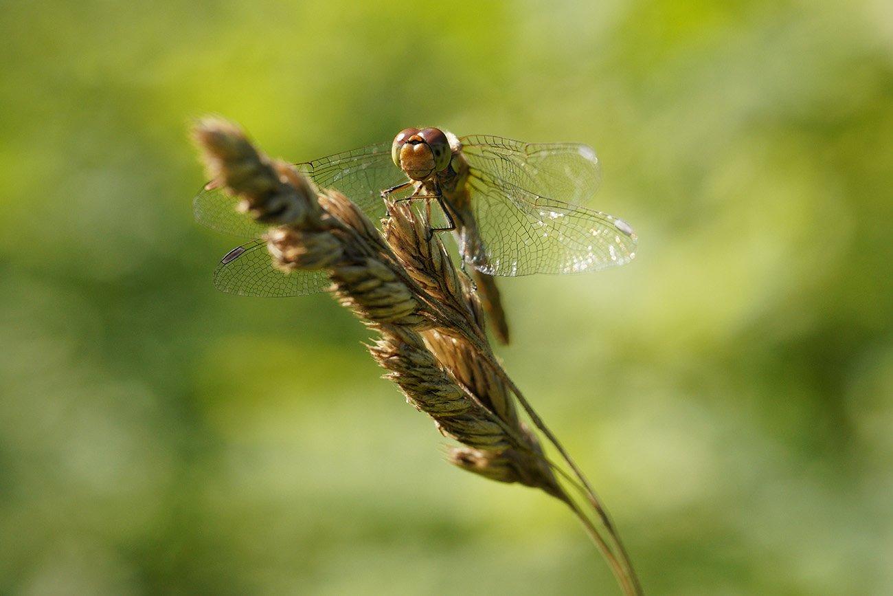 dragonfly sigma 70mm macro