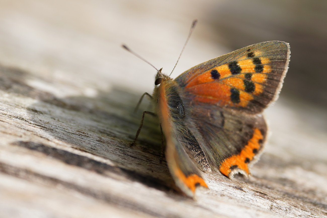 small copper sigma 70mm macro