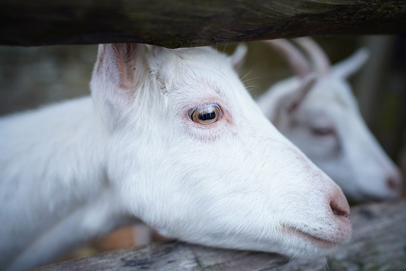 A goat shot with the sony fe 24mm f1.4 gm lens
