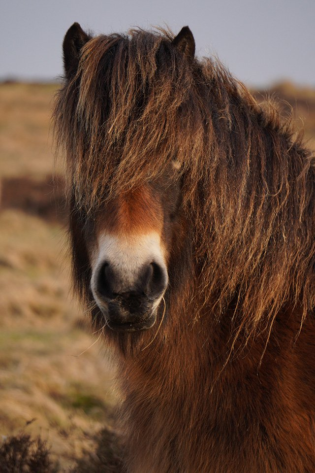 Sony a6400 with 55-210mm Lens Exmoor Pony
