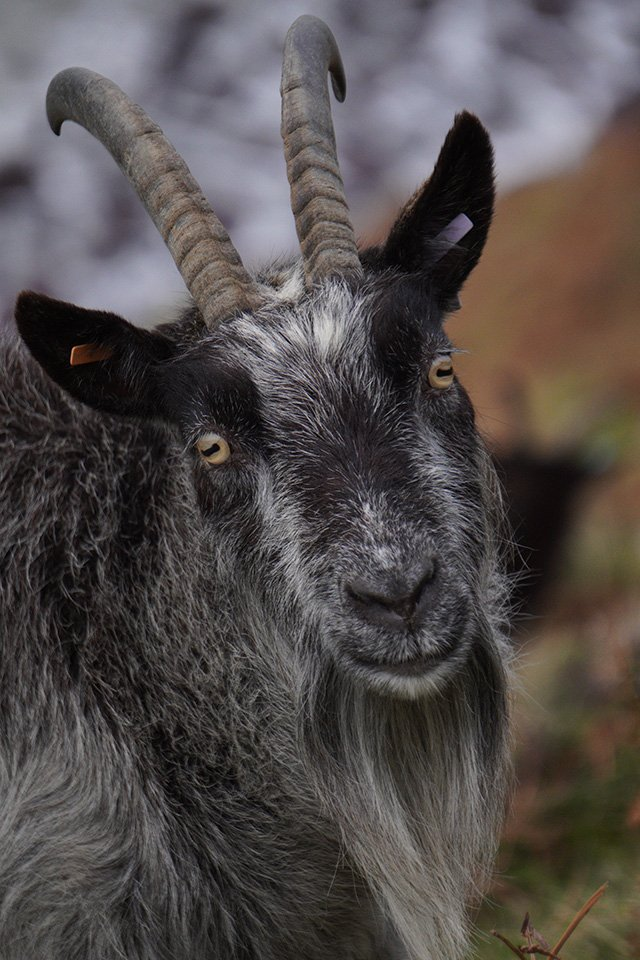 Sony a6400 with 55-210mm Lens Goat