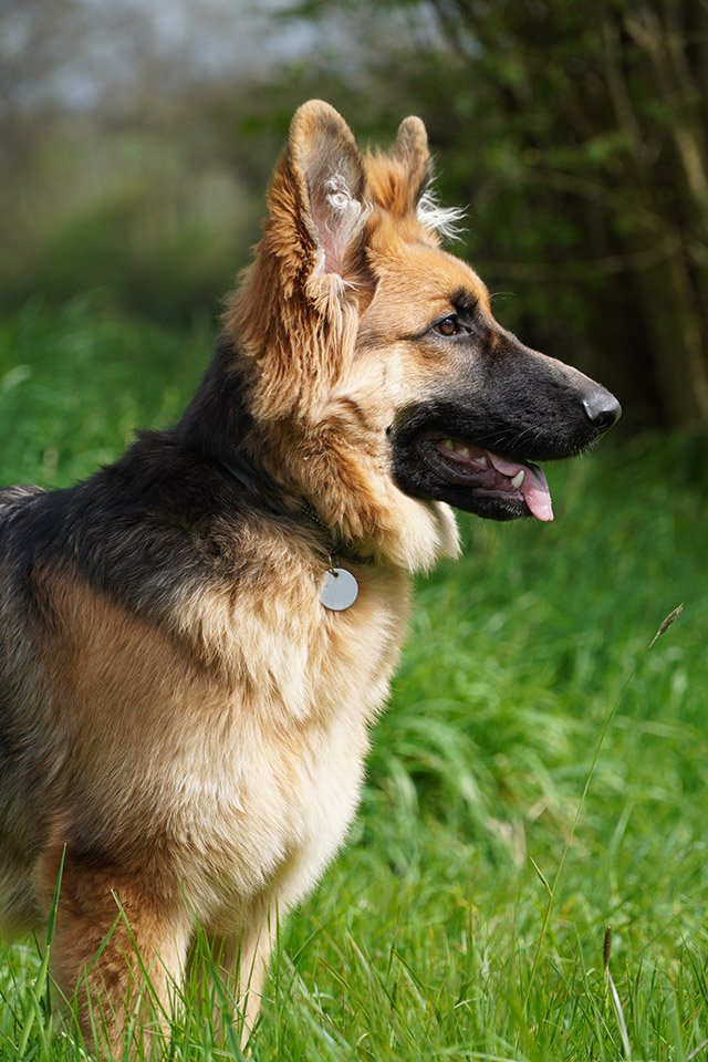 sony a6400 sample image selp18105g german shepard dog
