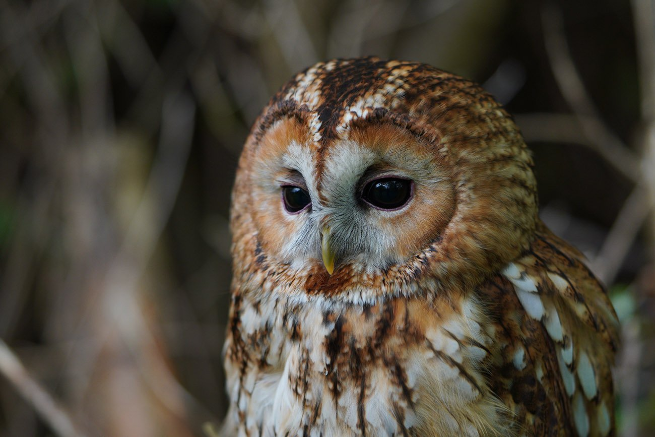 sony a6400 sample tawny owl 90mm macro