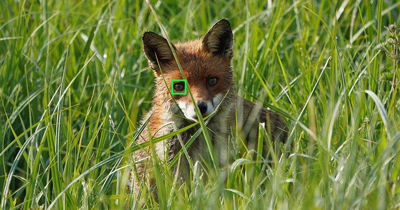 sony animal eye af fox