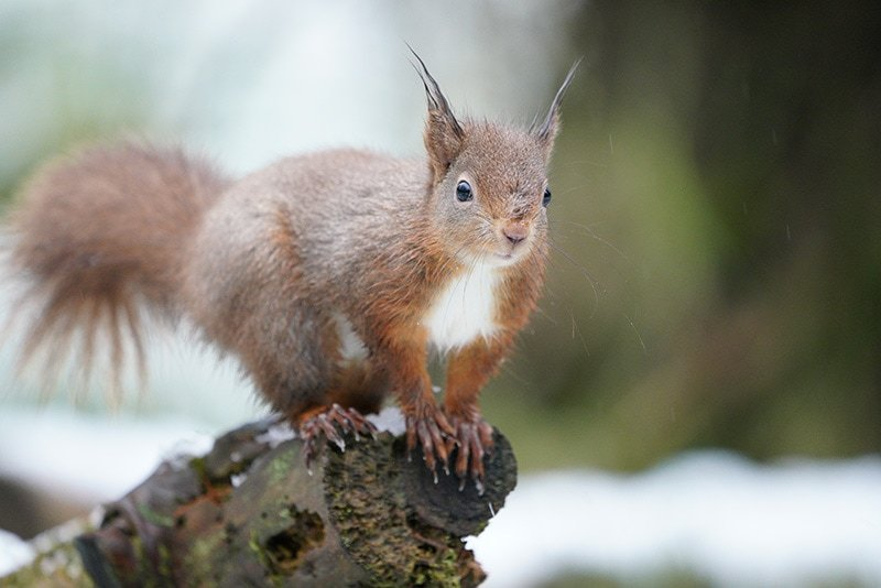 Sony 100-400 Red Squirrel