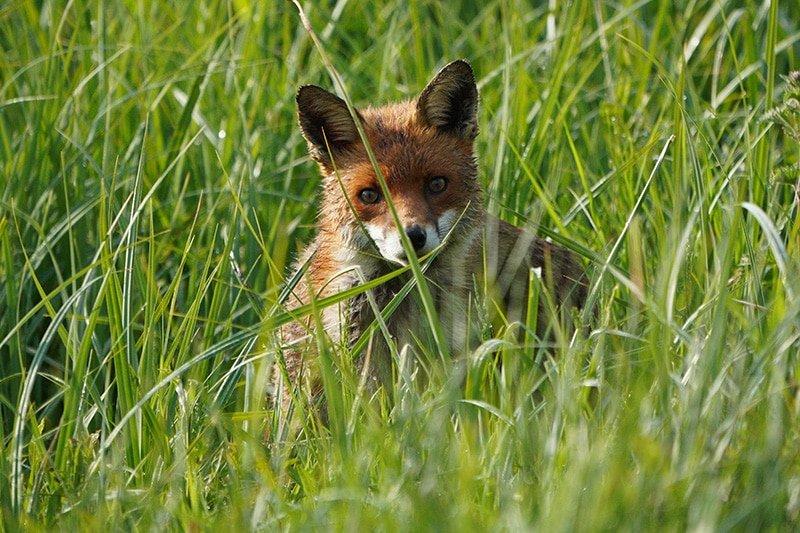 Sony 100-400 Red Fox