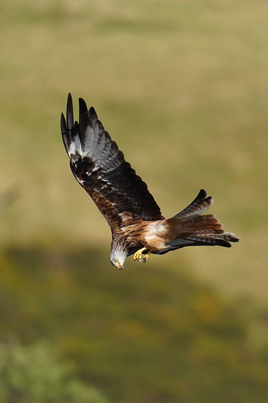 red kite shot with Sony FE 200-600