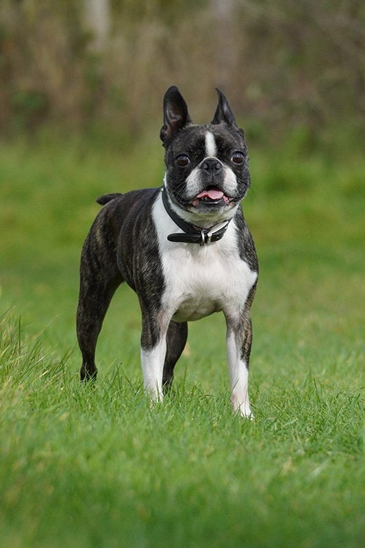 Sony 70-350 Sample Image Boston Terrier