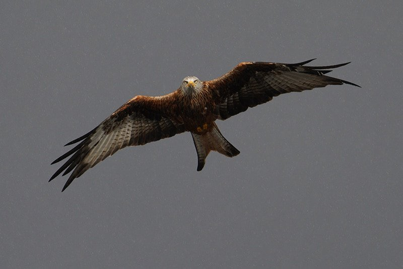 Sony a7r iv red kite