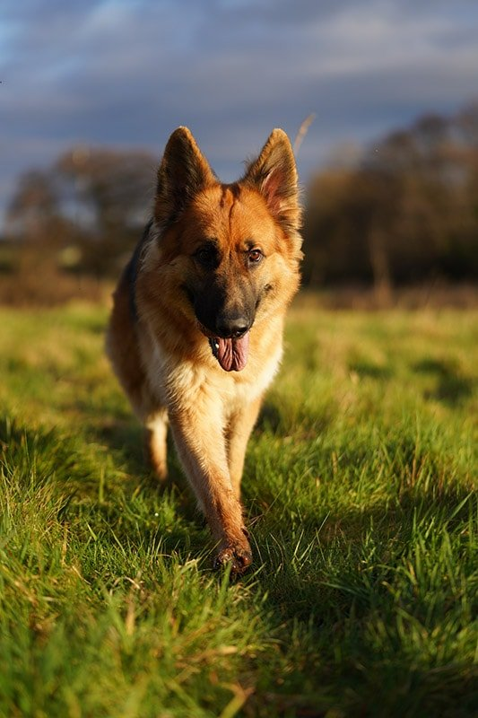 Sony a7RIV Sample Image German Shepard