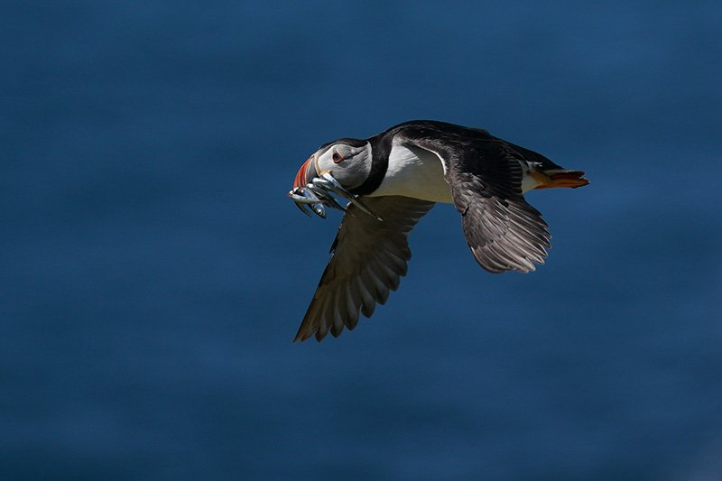Puffin flying over sea shot with Sony a9