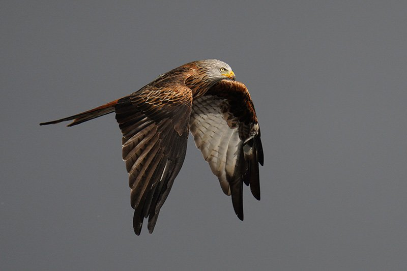 Red kite in flight shot with the Sony a7R IV