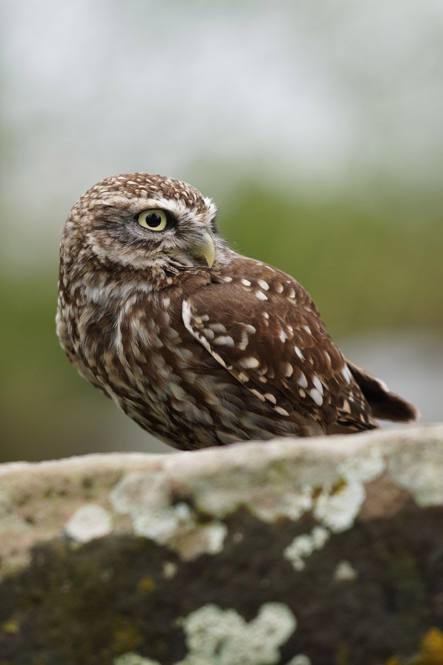 Little owl on wall shot with Sony a6400