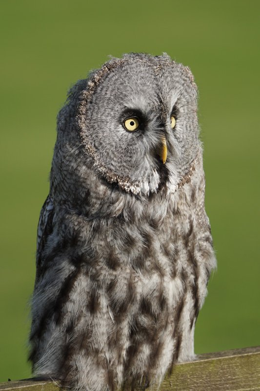Great Grey Owl taken with Sony a6500 and SEL100400GM Lens