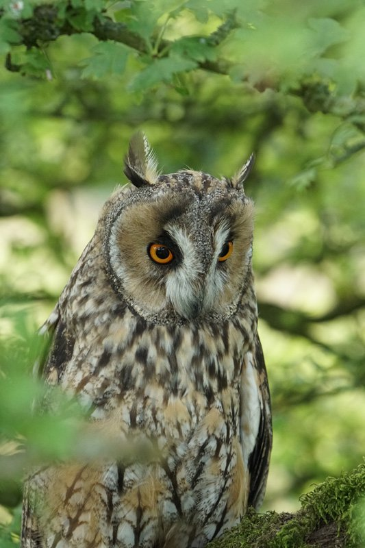 Long Eared Owl taken with Sony a6500 and SEL100400GM Lens