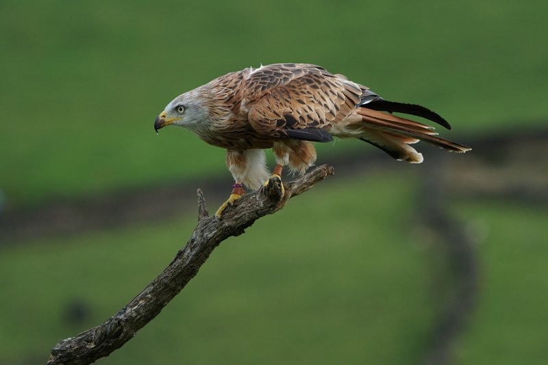 Red Kite taken with Sony a6500 and SEL100400GM Lens