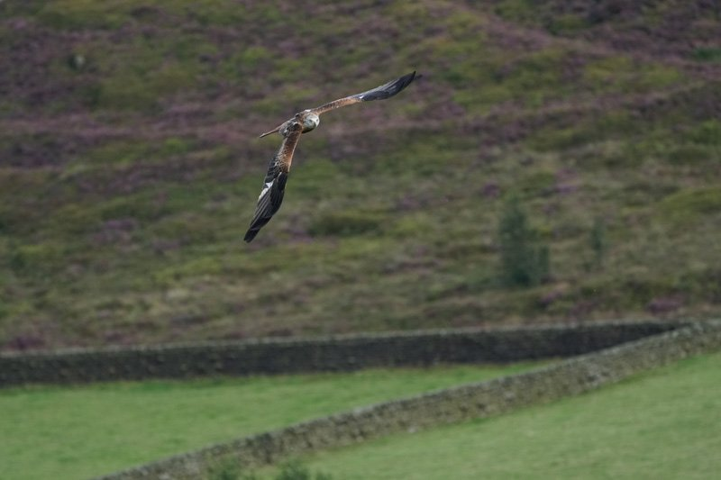 Red Kite in flight taken with Sony a6500 and SEL100400GM Lens