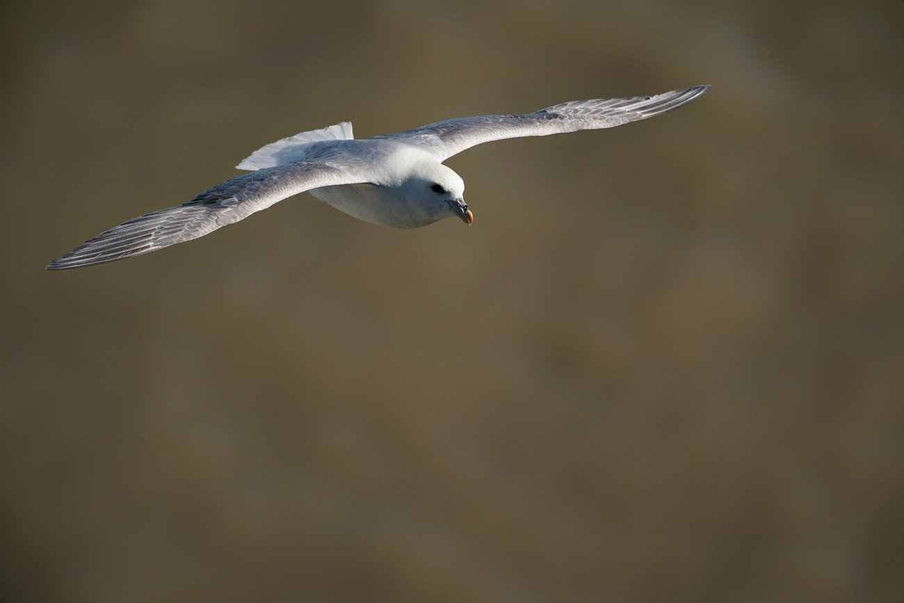 Fulmar shot with the Sony SEL100400GM lens