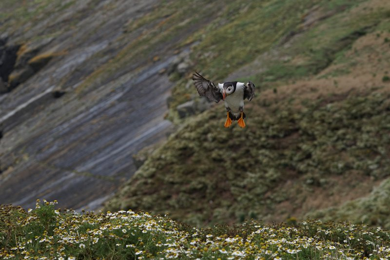 Puffin in flight Skomer Island taken with Sony a6500 and SEL70200G Lens
